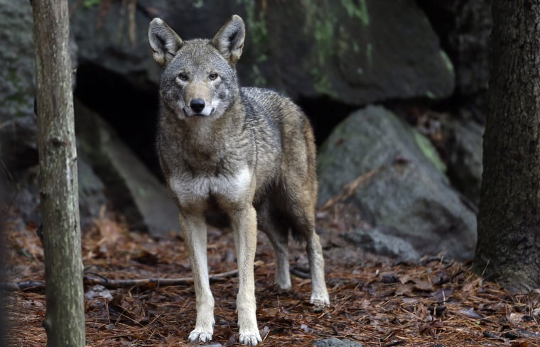 A female red wolf is shown in it's habitat at the Museum of Life and Science in Durham, N.C. Jan. 13, 2015