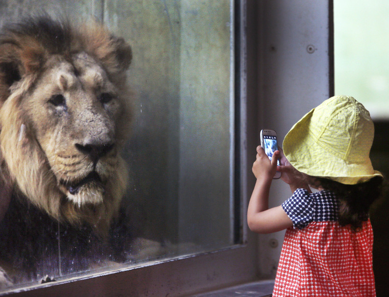 Image: A little girl takes a picture of a lion in the zoo in Frankfurt