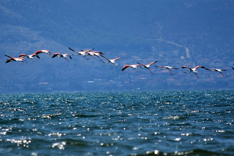 Image: Immigrant flamingo birds at Nafplio