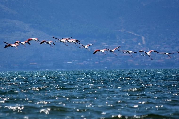 Image: Immigrant flamingo birds at Nafplio