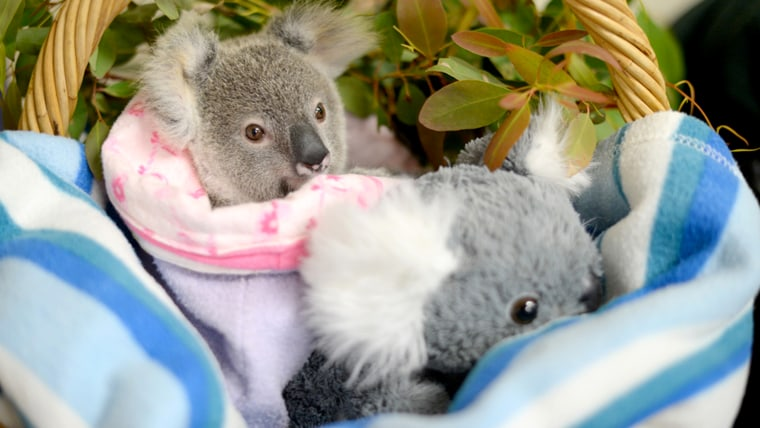 Orphaned baby koala, Shayne, finds comfort in stuffed animal after losing mom in car accident.