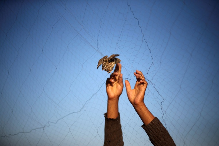 Image: A man takes out a quail from a net after catching it on a beach in Khan Younis, in the southern Gaza Strip