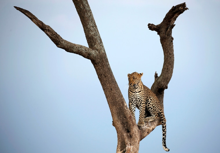 Image: A leopard sits on a tree branch in Maasai Mara National Reserve