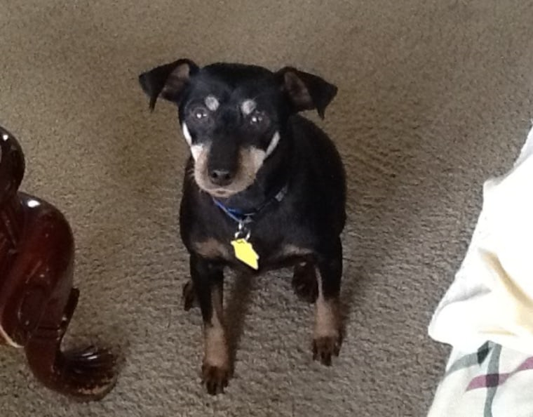 Princess, a 12-year-old miniature pinscher