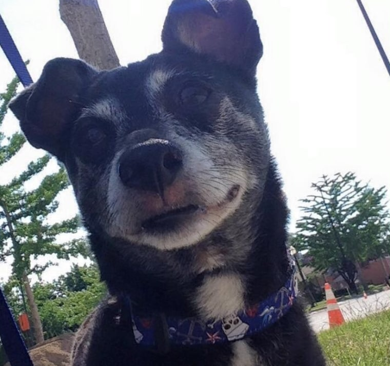 Bitsy, a 10-year-old Chihuahua mix