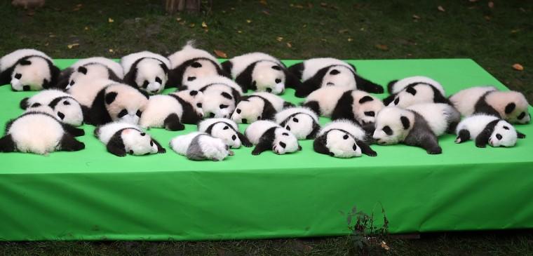 Image: 23 Giant Panda Cubs Make Debut In Chengdu