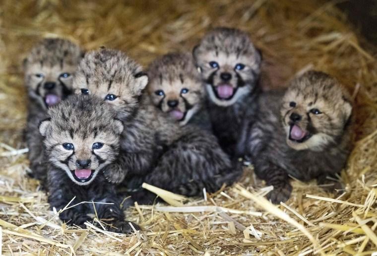 Image: NETHERLANDS-ANIMAL-CHEETAH
