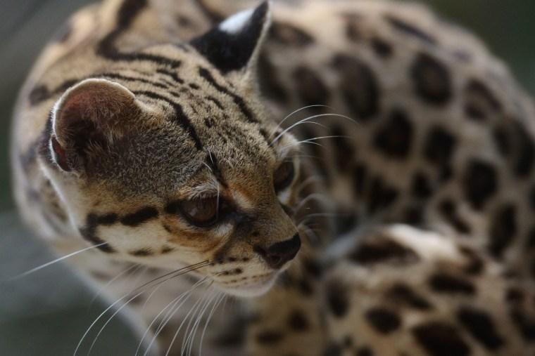 Image: SALVADOR-ANIMAL-ZOO-ONCILLA-TIGER CAT