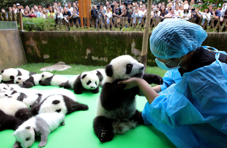 Image: About 23 giant pandas born in 2016 are seen on a display at the Chengdu Research Base of Giant Panda Breeding in Chengdu