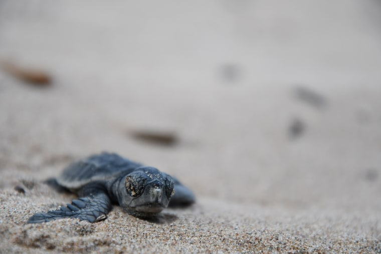Image: FRANCE-ENVIRONMENT-ANIMALS-SEA-TURTLE