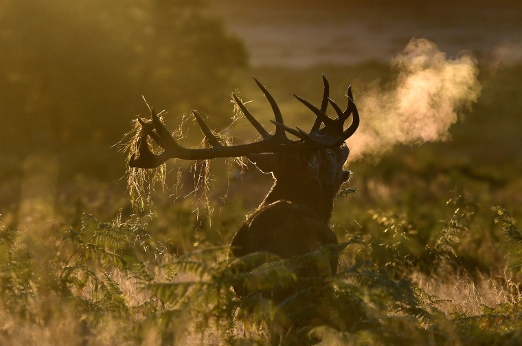 Image: A male deer barks at dawn during the annual deer rutting season at Richmond Park in London