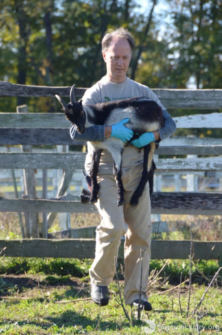 Benedict the Goat at Farm Sanctuary