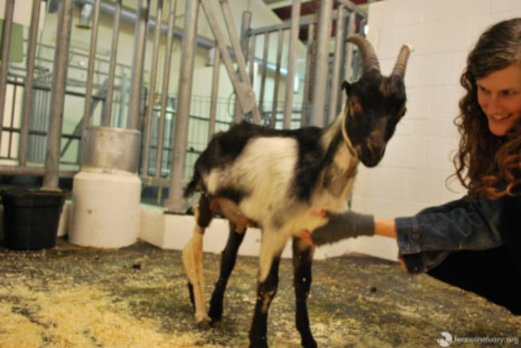 Benedict the Goat on Wheels