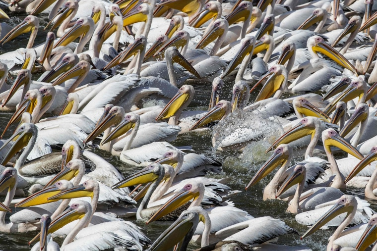 Thousands of great white pelicans eat fish provided by Israeli farmers at a water reservoir in Mishmar HaSharon north of the Israeli city of Tel Aviv on October 13, 2016.   Thousands of migrant Pelicans pass though Israel on their way to Africa then again when they return to Europe in summer. Local farmers feed the birds in order to avoid damage to the commercial fish pools.