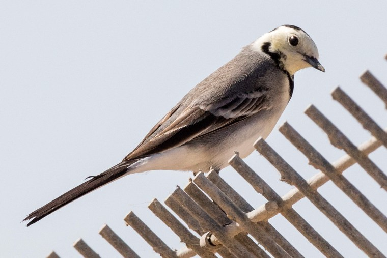 An White Wagtail (Motacilla alba) is pictured at a water reservoir in Mishmar HaSharon north of the Israeli city of Tel Aviv on October 13, 2016.   Thousands of migrant Pelicans pass though Israel on their way to Africa then again when they return to Europe in the summer. Local farmers feed the birds in order to avoid damage to the commercial fish pools.