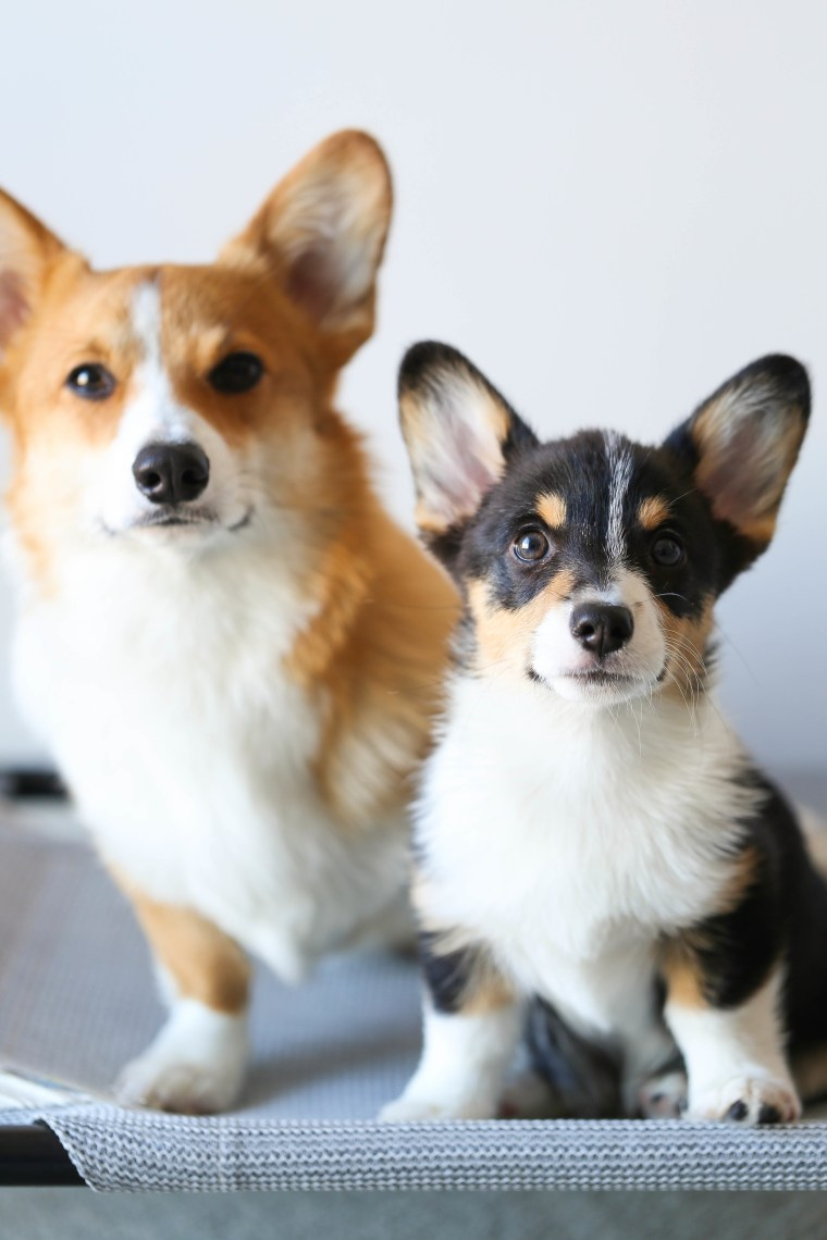 Corgis Butters and Ollie
