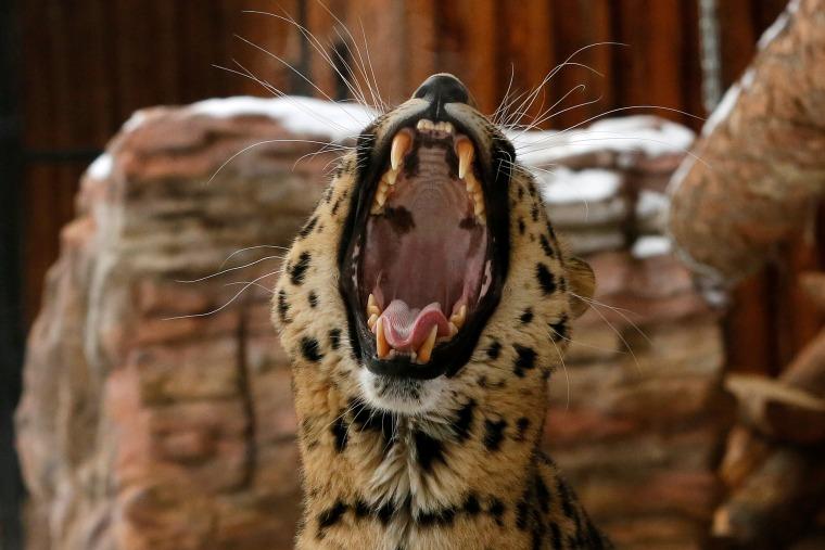 Image: Kirin, a seven-year-old male Amur (Far Eastern) leopard, yawns inside an open-air cage at the Royev Ruchey zoo in Krasnoyarsk