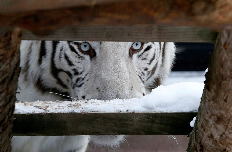 Image: Khan, a five-year-old male White Bengal tiger, looks on inside an open-air cage at the Royev Ruchey zoo in Krasnoyarsk
