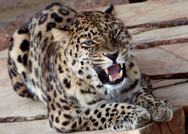 Image: Kirin, a seven-year-old male Amur (Far Eastern) leopard, growls inside an open-air cage at the Royev Ruchey zoo in Krasnoyarsk