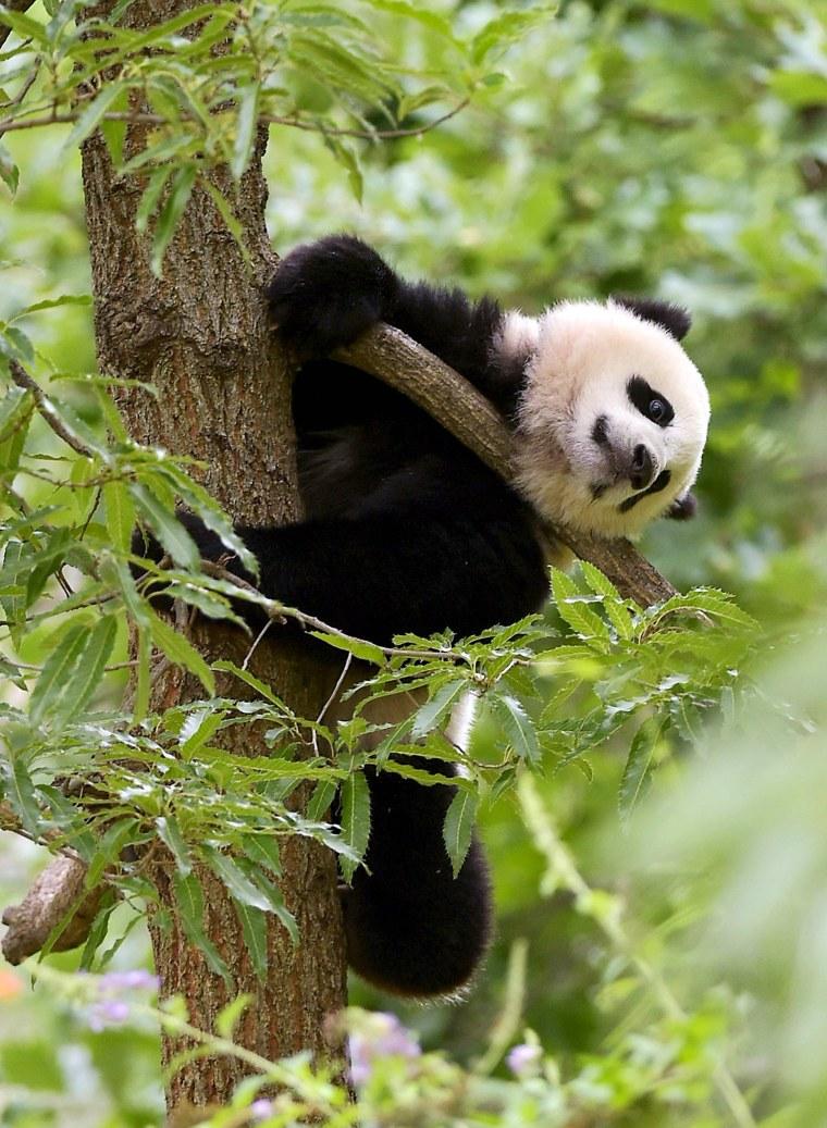 Image: FILES-US-CHINA-ANIMAL-PANDA