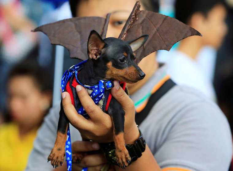 Image: Man shows his Pincher dog wearing a bat costume as they take part in 'A Petrifiying Trail Pet' costume party at a mall in Pasay city