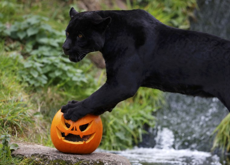 Image: Goshi the black Jaguar stands on top of a carved Halloween pumpkin in its enclosure as part of the Enchantment event at Chester Zoo in Chester