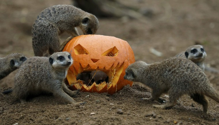Image: Meerkats search for food inside a carved Halloween pumpkin in their enclosure as part of the Enchantment event at Chester Zoo in Chester