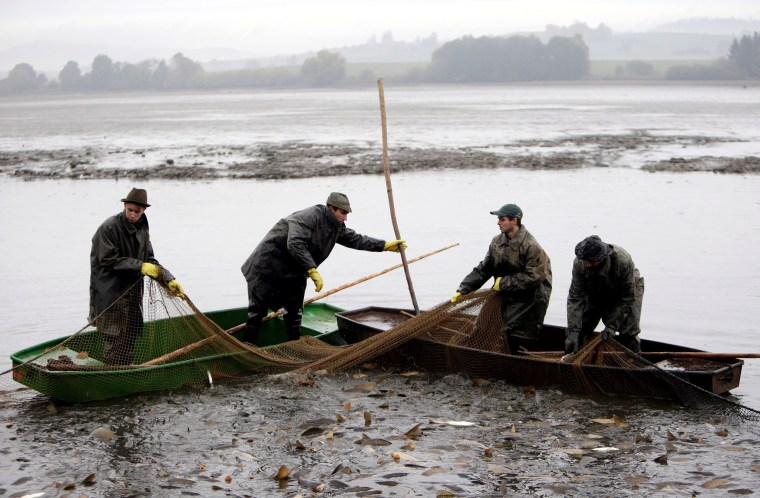 Image: Fishermen pull a net containing fish from a pond during the traditional carp haul near the village of Belcice