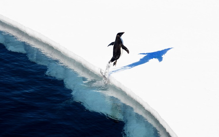Image: An adelie penguin jumping onto the ice in the Ross Sea in Antarctica