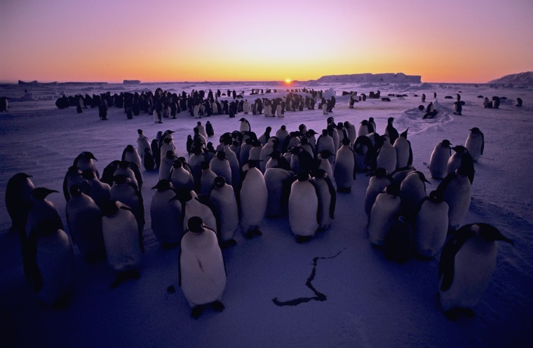 Image: A colony of Emperor penguins.