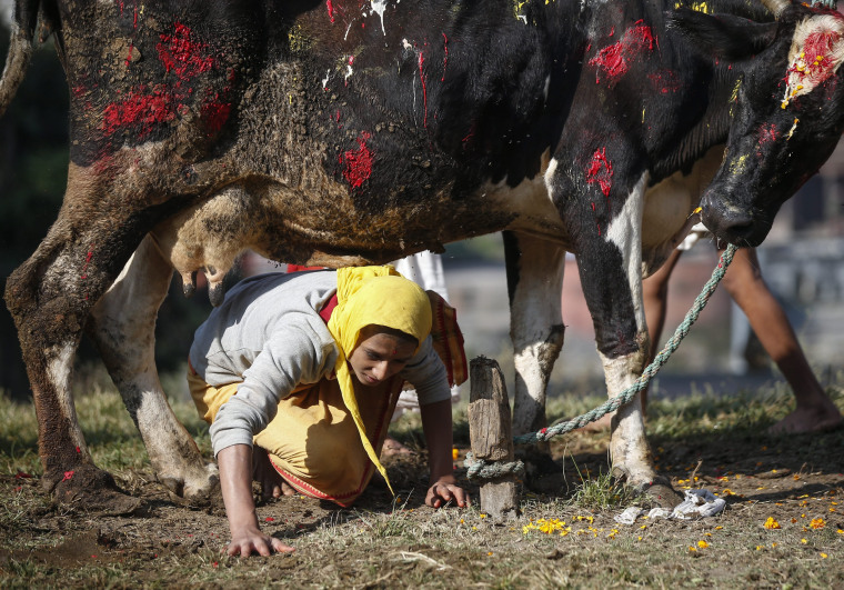 Image: Cow worship day of Tihar festival in Nepal