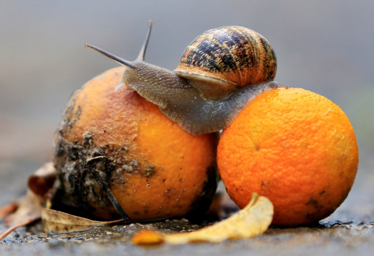 Image: A snail sits on oranges, after the first rain in Jizeen