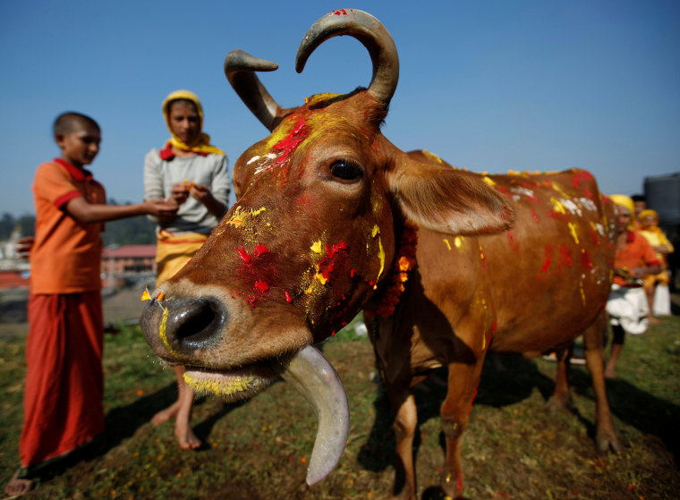 Image: A cow adorned with garlands and smeared with vermilion powder