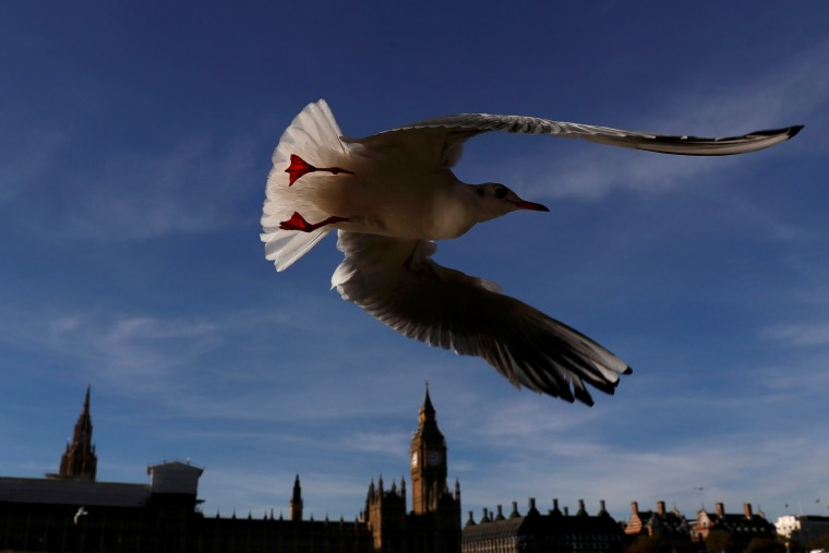 Image: A seagull flies past the Houses of Parliament in central London