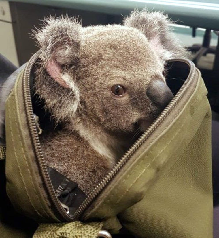 Image: Queensland Police Service find male joey koala while arresting a woman south of Brisbane, Queensland