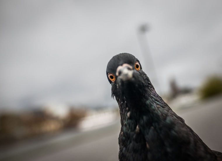 Image: GERMANY-ANIMALS-PIGEON