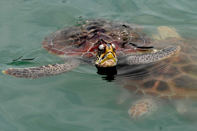 Image: INDONESIA-ANIMAL-CONSERVATION-TURTLES