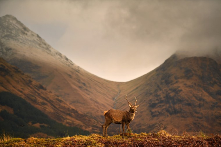 Image: Deer Grazing At Glen Etive