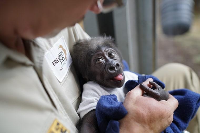 Image: Animal caretaker raises Gorilla