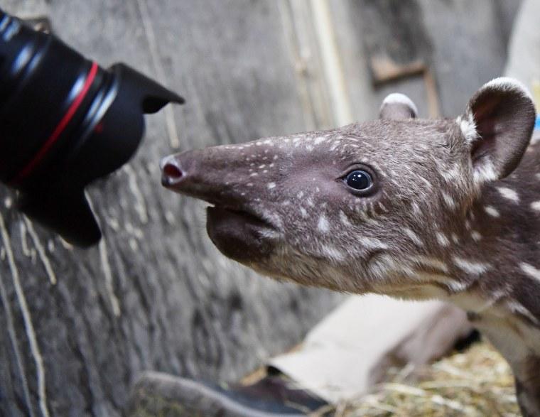 Image: GERMANY-ANIMALS-ZOO-TAPIR