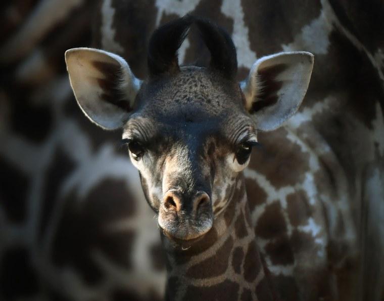 Image: US-ANIMAL-GIRAFFE