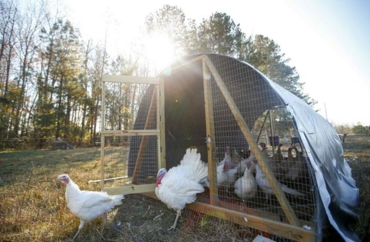 A group of Beltsville Small White turkeys are seen as they exit their coop at a farm in Wake Forest
