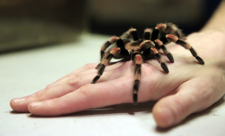 Image: A Mexican redknee tarantula spider
