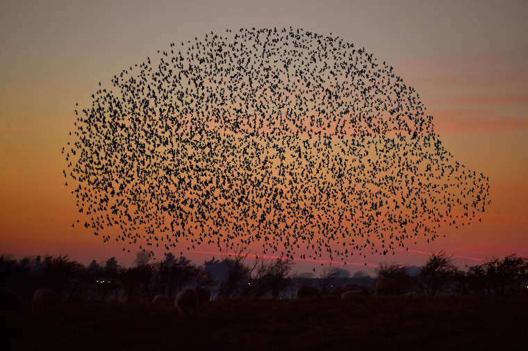 Image: Starling Murmurations In Scotland