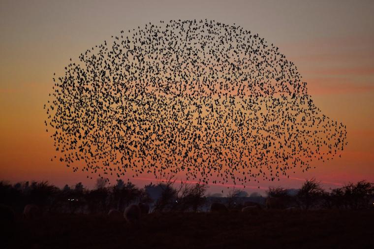 Image: Starling Murmurations In Scotland