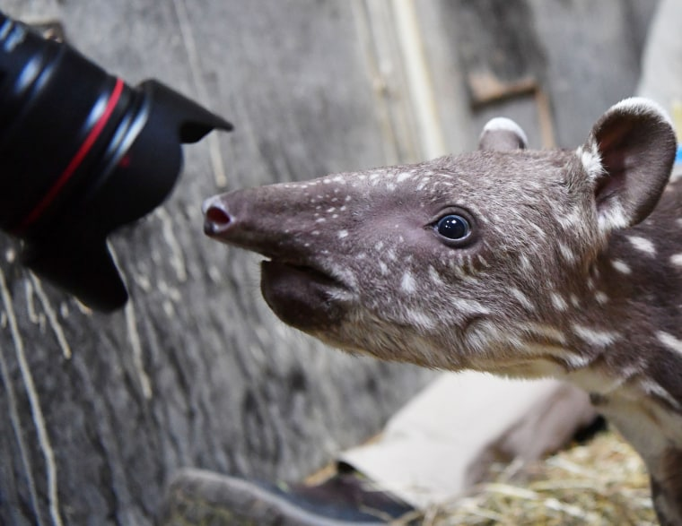 Image: GERMANY-ANIMALS-ZOO-TAPIR