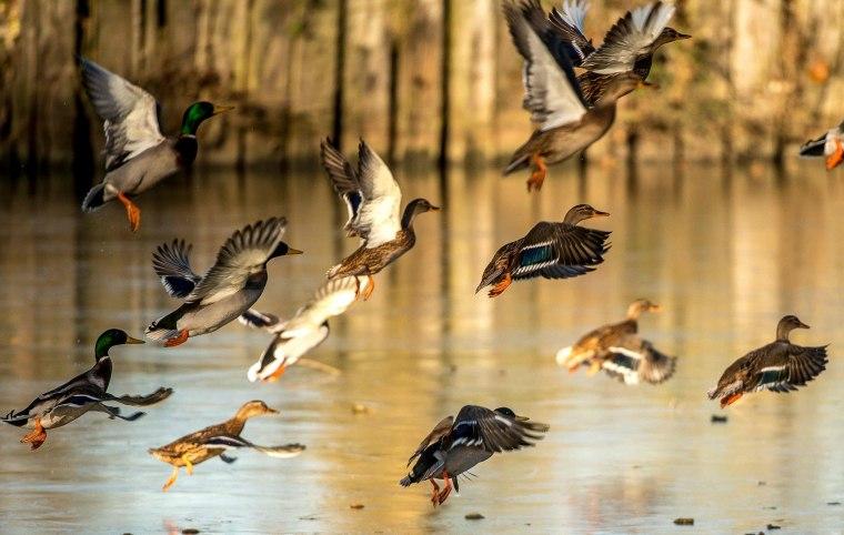 Image: FRANCE-HEALTH-DUCK-BIRD-FLU