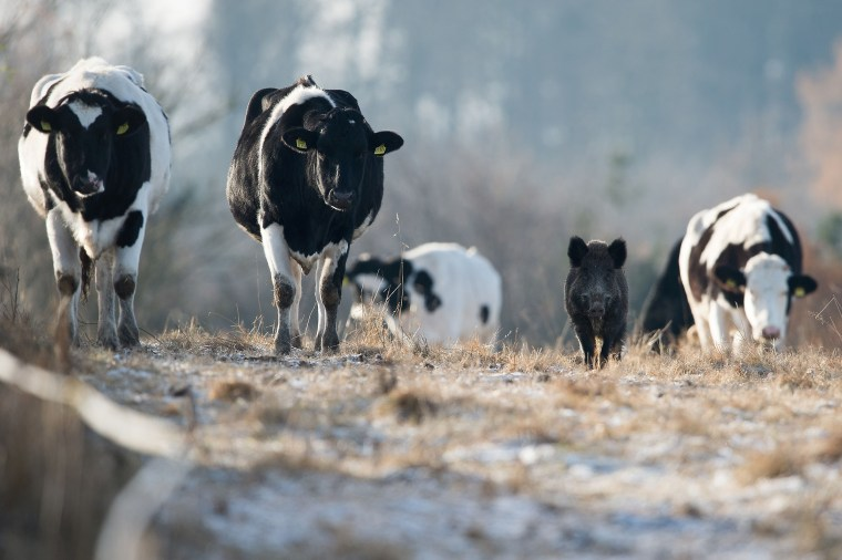 Image: GERMANY-ANIMALS-WILD-BOAR-CATTLE