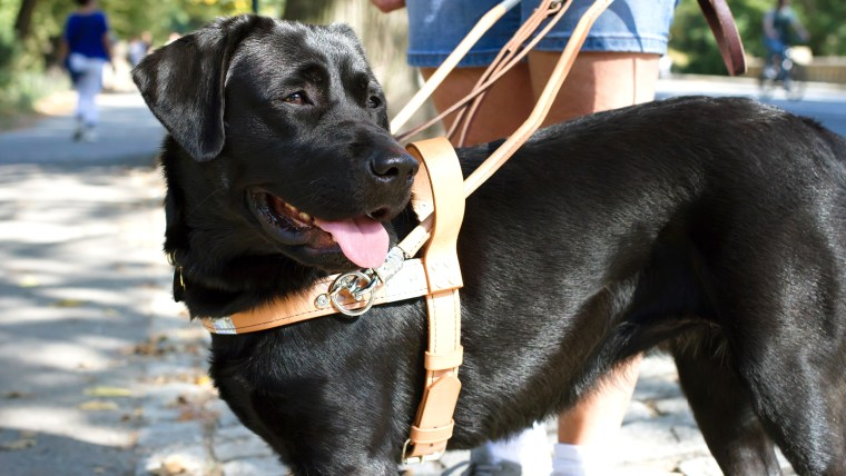 A black labrador retriever guide dog in harness smiling in the direction of the camera on a sunny day.