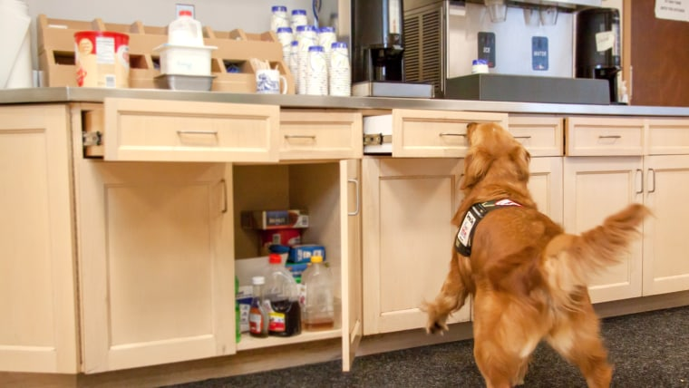 A golden retriever service dog using her nose to push drawers and cabinet doors closed.